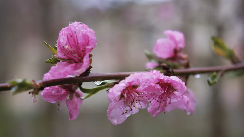 Water falling on flower. Water drops hitting pink cherry blossom. Superb close up panoramic view against blooming pink cherry branch trembling on the wind. Soft toned nature scene of Japanese Sakura. #16015990