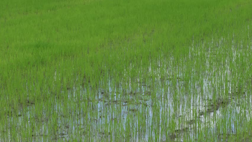 View of Young rice sprout ready to growing in the rice field.
