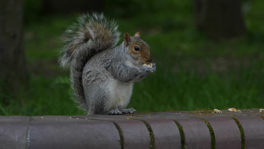 Eastern gray squirrel eating seeds in the park St James in London, portrait shot. Green spring forest background, real time,4k,ultra hd #16115746