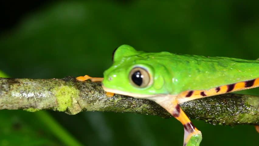 Tiger-striped Leaf Frog (Phyllomedusa Tomopterna). On A