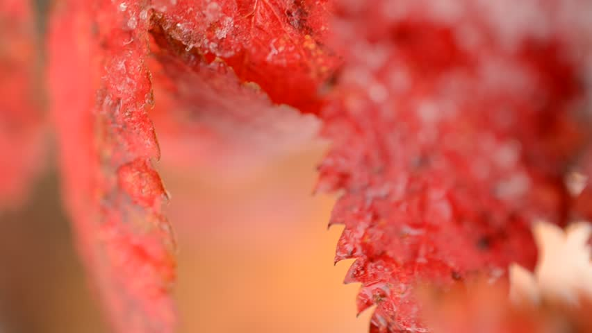 red vibrant rowan tree leaf with snow in autumn macro video - HD stock video clip