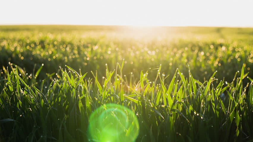 Time Lapse: Sunrise on a background of green fields of winter wheat. and dew drops on bright green grass with sun beam. Bright natural bokeh.