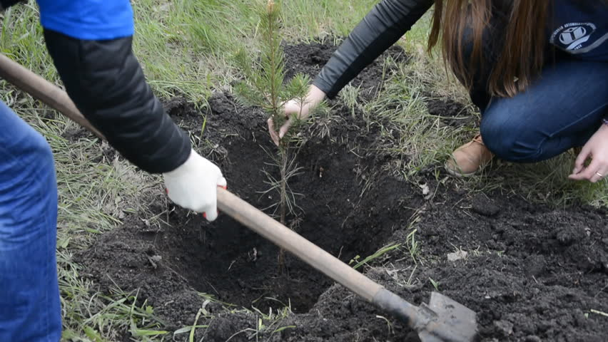 Planting pine seedlings young people. Shovel with soil