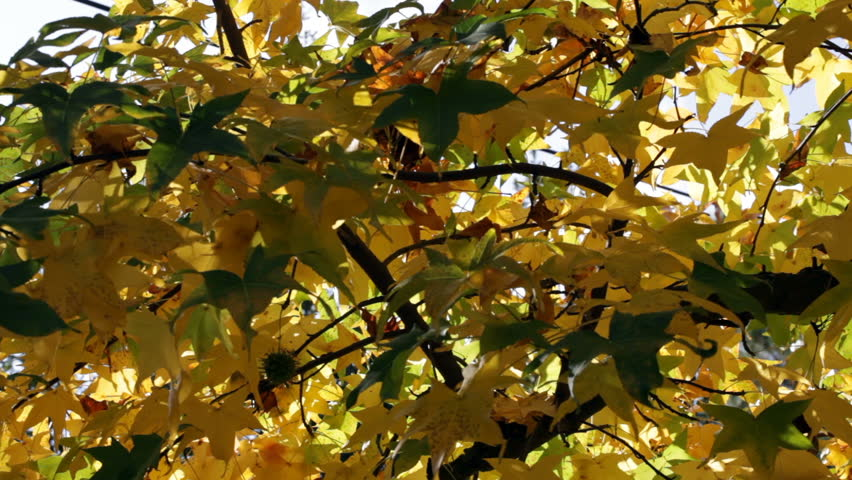 Autumn Leaves On Tree Blowing In Breeze