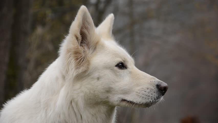 Dog observed White Swiss Shepherd Dog observes the surrounding portrait in autumn | Shutterstock HD Video #1645429