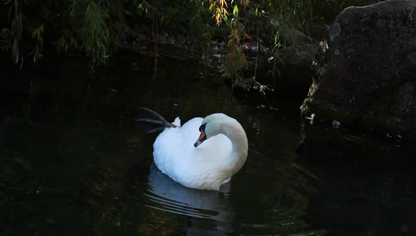 White swan makes his toilet in a pond - HD stock footage clip