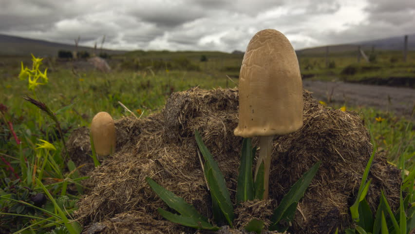 Time-lapse of clouds moving over a large hallucinogenic mushroom (Psilocybe sp.) growing on horse dung on the paramo near Cotopaxi Volcano, Ecuador | Shutterstock HD Video #16558969