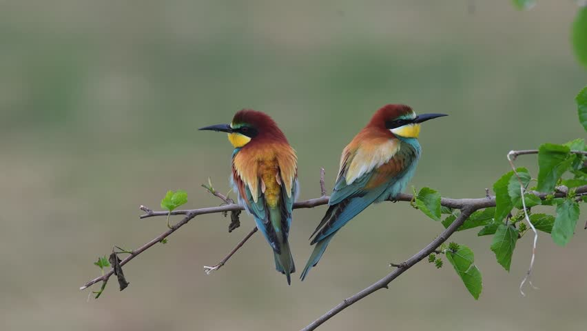 european bee-eater (Merops Apiaster) in natural habitat sitting on ... Group Of Colorful Birds