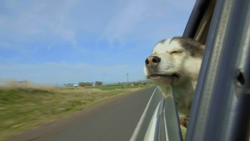 Beautiful Husky dog rests her head on a car window, joyful, fur and lips flapping in the wind