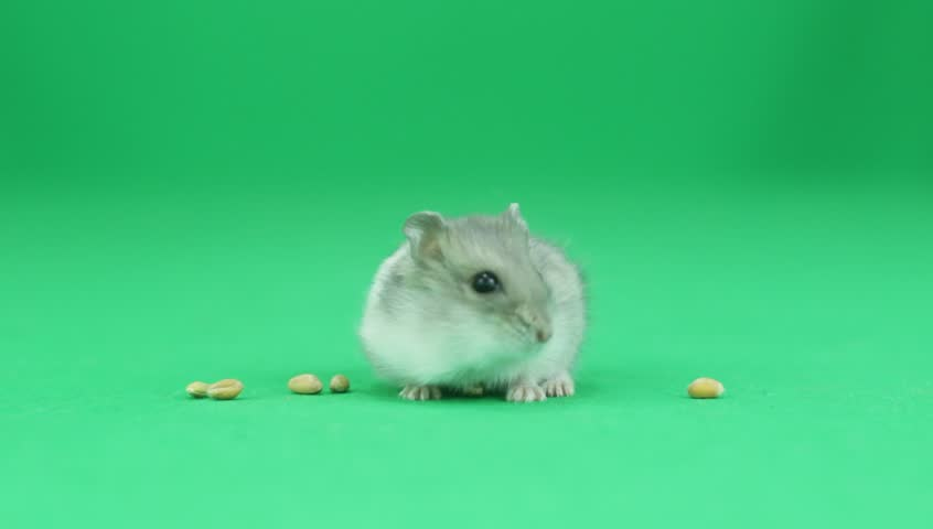 Hamster on a green background - HD stock video clip