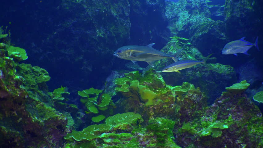 School colored fish swims over rocky reef and in blue sea, Caribbean Cocos Costa Rica. Underwater landscape, rocky pinnacles, canyons, walls, caves. Amazing  array of marine life ready for exploration | Shutterstock HD Video #16772107