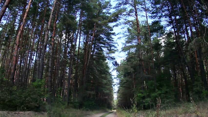 illinois willowbrook pine tree