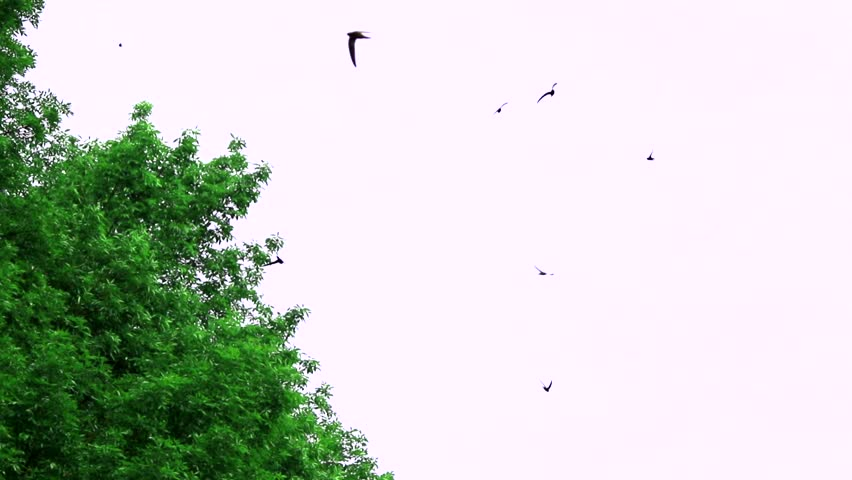 Header of Alpine Swift