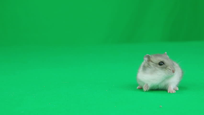 Hamster sitting on a green screen - 4K stock footage clip