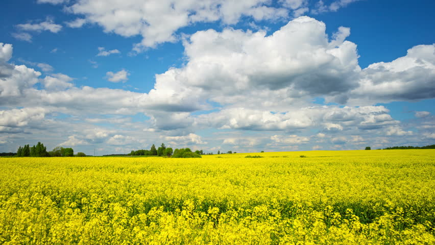 Blooming rapeseed field, panoramic time-lapse - 4K stock footage clip