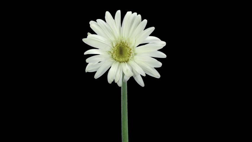 Time-lapse of growing and opening white gerbera flower 4a3 in RGB + ALPHA matte format isolated on black background