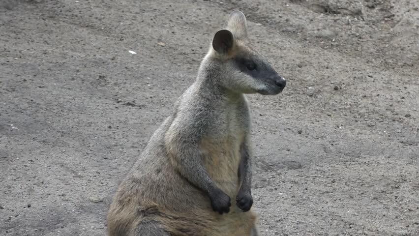 Header of Agile Wallaby