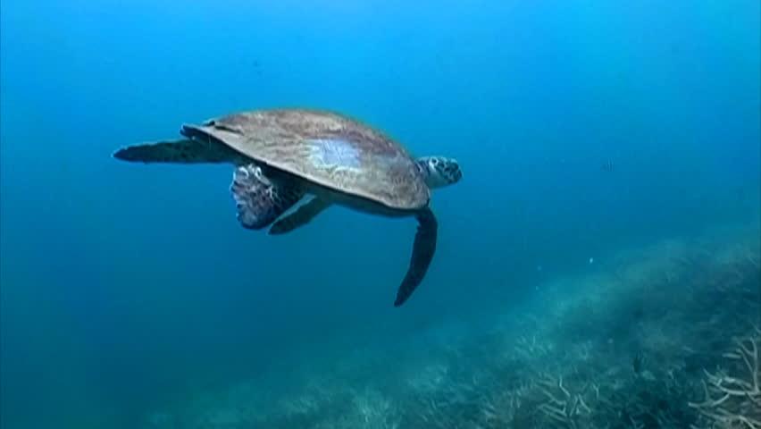 Hawks bill Sea turtle swimming among the corals