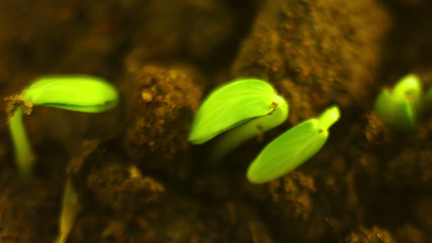 Small Cucumber Plants Growing in the Ground Extreme Close up Nature Process Time Lapse