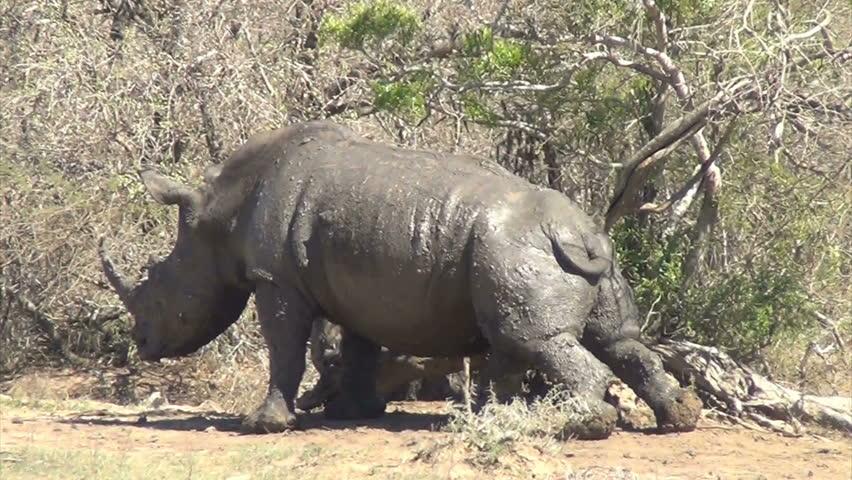 Rhino rubbing belly on tree stump - HD stock video clip
