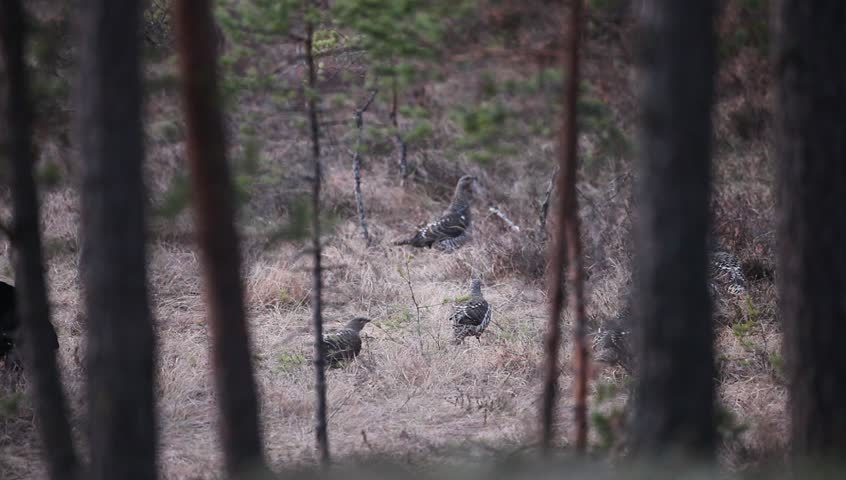 Capercaillie courtship ceremony wirt mating call in the forest, Sweden. Male and females of Capercaillie in the forest. Wildlife scene from nature. Courtship of Capercaillie. Birds in the forest.