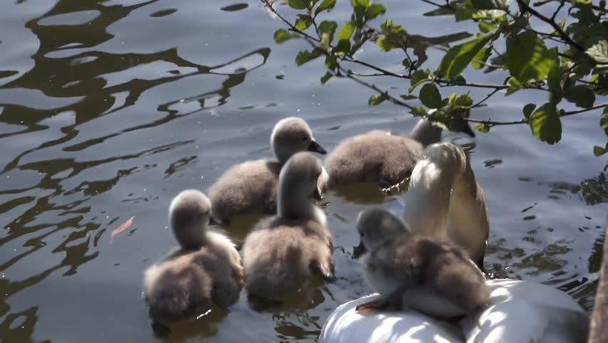 Swan with her babies - HD stock footage clip