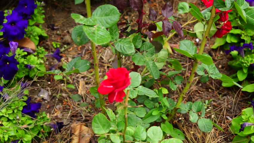 Red roses in the garden | Shutterstock HD Video #17203576