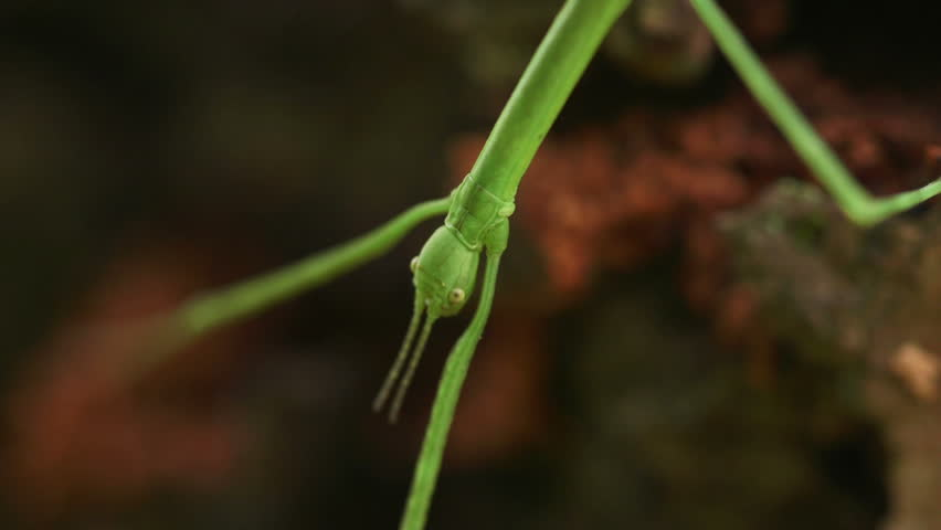 Stick Insect (Phasmida, Baculum elongatum) - HD stock footage clip