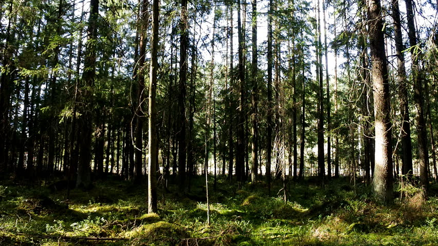 Spruce forest and road, which runs behind his facade. Sunny summer day