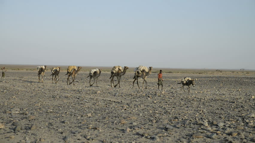 DANAKIL DEPRESION, ETHIOPIA - 27 december 2014: Camel caravans carrying salt through the desert in the Danakil Depression. - HD stock footage clip