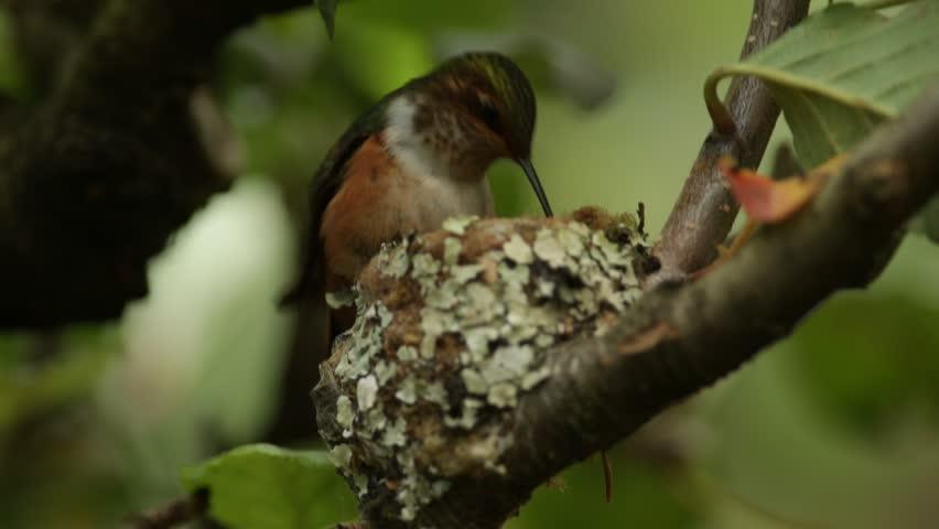 Hummingbird in the nest. Adult hummingbird feeding two chicks in the nest, Scintillant Hummingbird, Selasphorus scintilla, Savegre, Costa Rica. Wildlife scene from tropic mountain forest. Nesting time