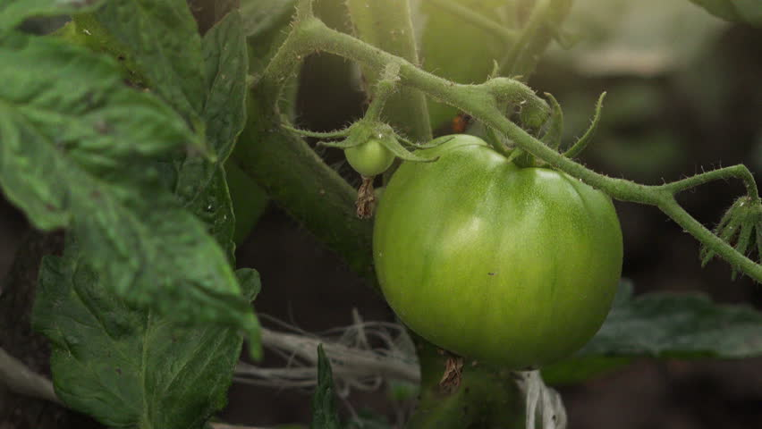 Green homegrown tomato in vegetable garden, organic food production - 4K stock footage clip
