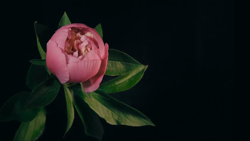 Red Peony Flowering Timelapse 4k - 4K stock video clip