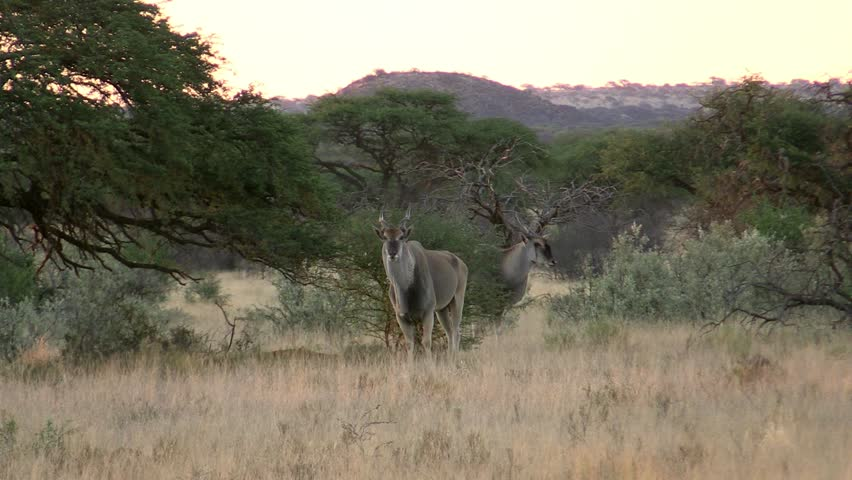Header of eland