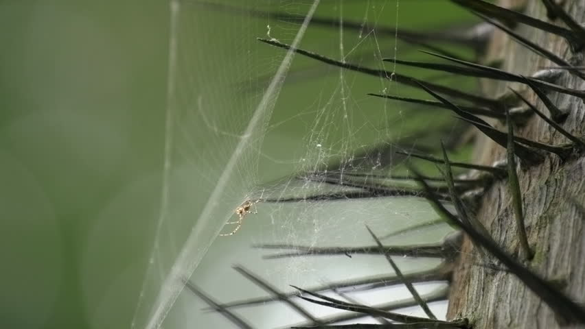 Small spider sits in its web trap to catch prey on a palm tree trunk with spikes and thorns. Danger, trap, network connection concept. Local spiderweb wildlife animals in Langkawi, Malaysia, Asia.