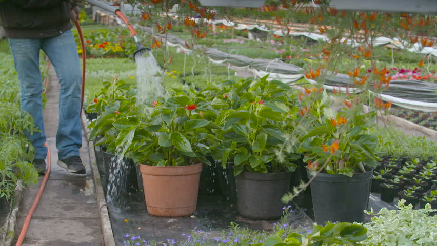 Farmer Spraying Water On Plants In Greenhouse - HD stock footage clip