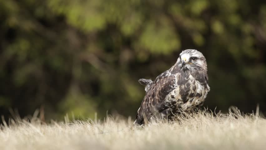 Rough-legged buzzard, Buteo lagopus, in the grass. Bird of prey in the forest. Rough-legged buzzard in nature habitat. Bird on the meadow. Buzzard in the forest.