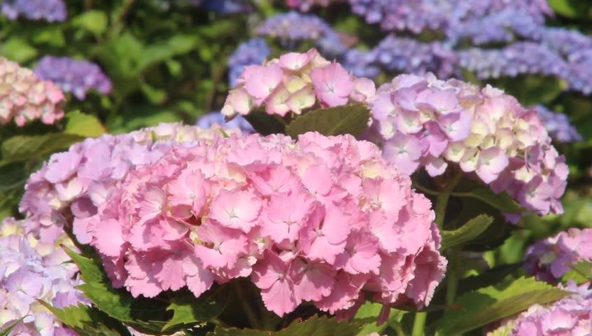 Hydrangea flower blooming in Japan - HD stock footage clip