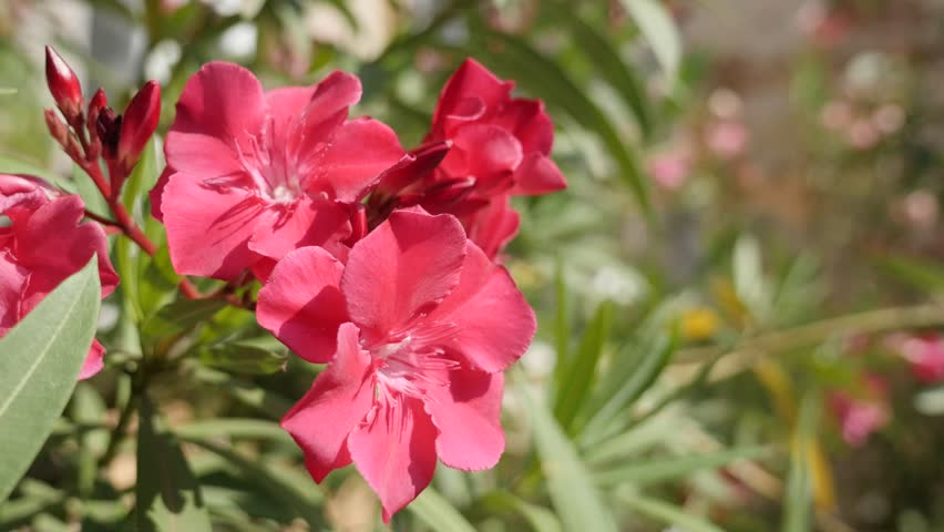 Nerium oleander beautiful pink flower in the garden close-up 4K 2160p 30fps UltraHD footage - Apocynaceae dogbane family tree shrub plant 3840X2160 UHD video - 4K stock footage clip