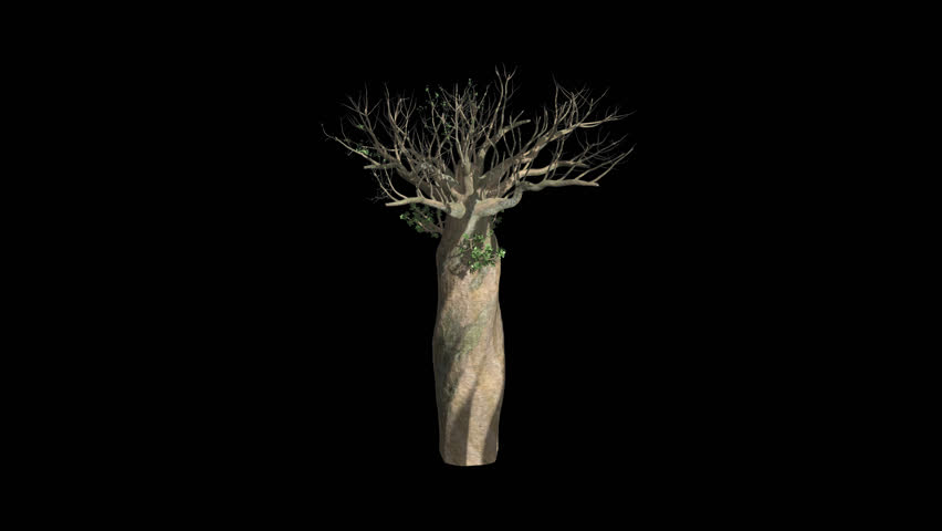 Madagascan Baobab Tree Growing with Alpha Channel Plant Growth Animation #17780827