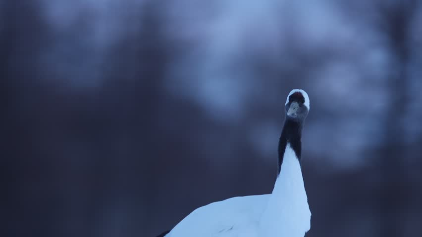Detail of rare bird in the dark evening with forest in the background. Red-crowned crane, Grus japonensis, head portrait with white and back plumage, winter scene, Hokkaido, Japan