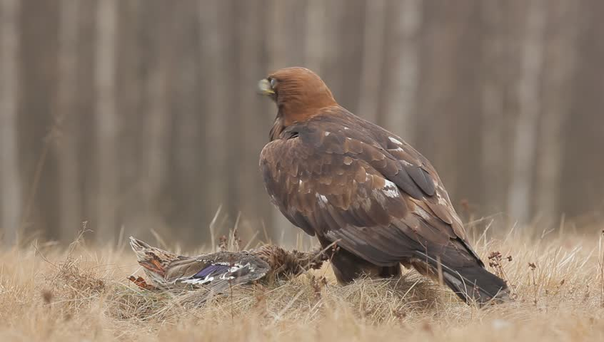 Golden Eagle, feeding on kill duck. Eagle in the nature forest habitat, Norway. Golden eagle with catch bird in the grass. Golden eagle with dead duck in the forest. Animal behaviour in the nature.