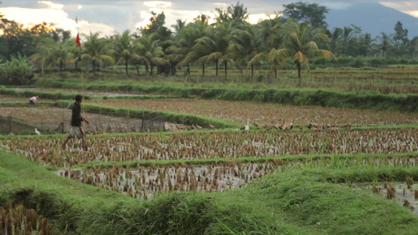 Ducks on a rice field in central bali stock footage video for Terrace ng bahay
