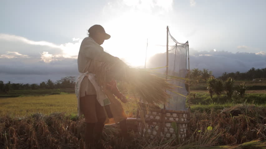 BALI, INDONESIA- JUNE 4, 2016: Two balinese farmers threshing rice by hand during sunset in field of Ubud, Bali. A common practices done in rural China, Japan, Vietnam, Thailand, Myanmar, Philippines