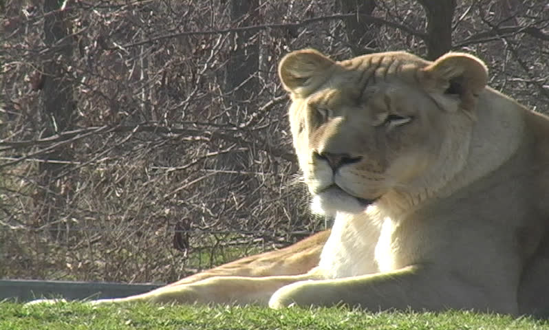 Lion at the Zoo - SD stock footage clip