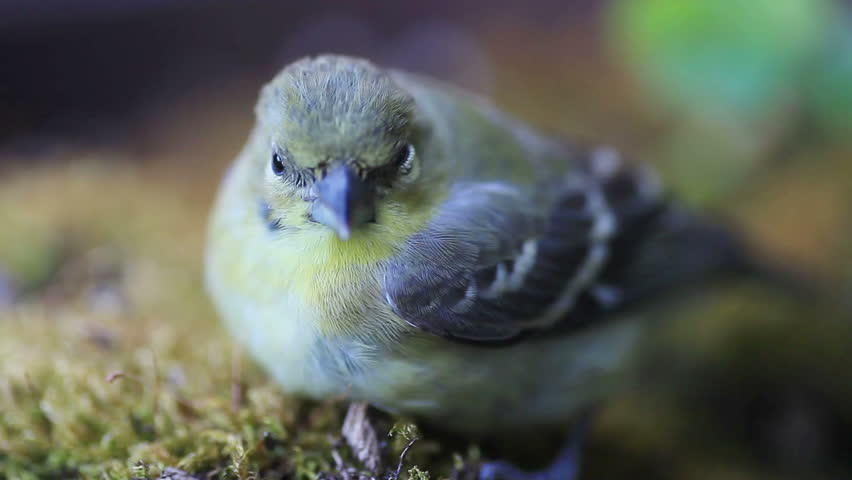 Young goldfinch after window collision  - HD stock footage clip