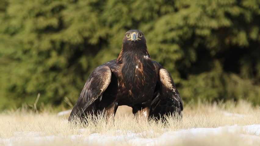 Golden eagle in the meadow. Bird of prey in the nature habitat. Animal behaviour in the nature. Eagle in the nature forest habitat, Poland.