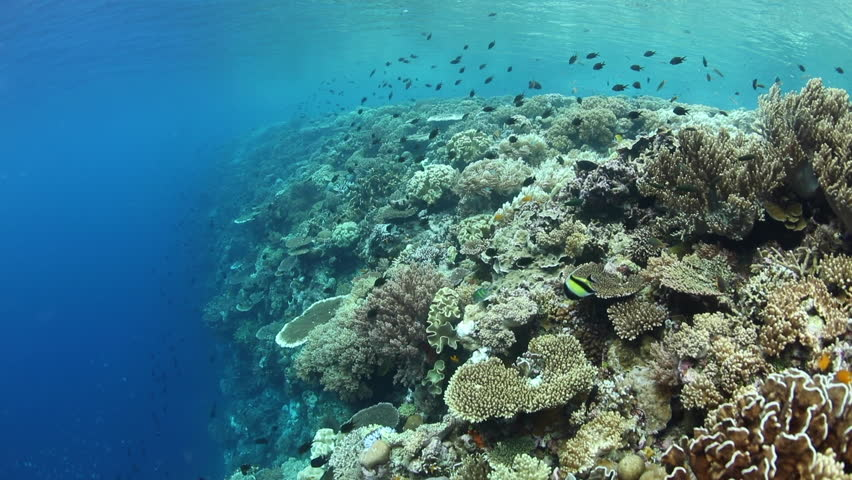 A colorful and healthy coral reef thrives in Wakatobi National Park, Indonesia. This remote area is home to a spectacular variety of marine life.