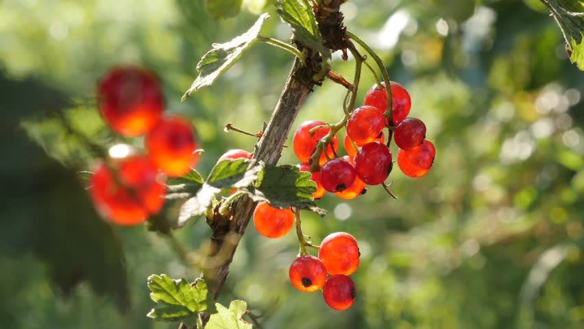 Ribes rubrum healthy red berries on the plant close-up 4K 2160p 30fps UltraHD footage - The redcurrant deciduous shrub fruit natural shallow DOF 3840X2160 UHD video