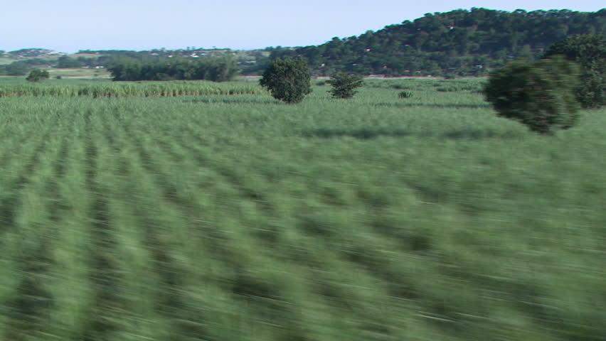 Sugarcane aerial 2 - HD stock footage clip